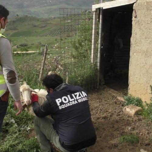 VIDEO. Gagliano C. La polizia di stato deferisce all'autorità giudiziaria un allevatore per detenzione di animali non censiti pronti per essere macellati.