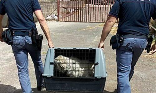 NICOSIA.LA POLIZIA DI STATO SEGNALA ALLA MAGISTRATURA UNA PERSONA PER MALTRATTAMENTI DI ANIMALI