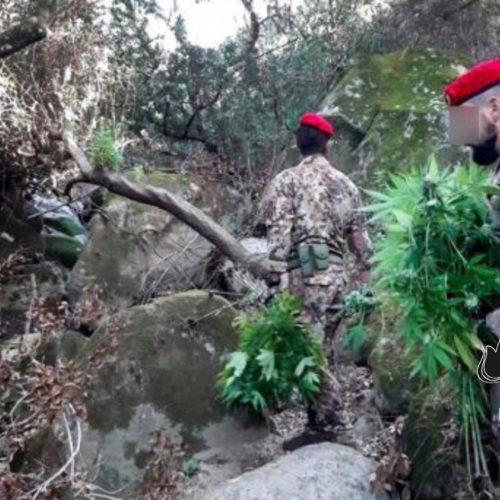 CENTURIPE. Arrestati un ennese e un ricercato catanese per la coltivazione di una piantagione di marjuana.